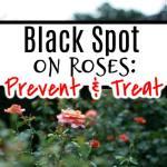 Black Spot On Roses:  Prevention & Treatment