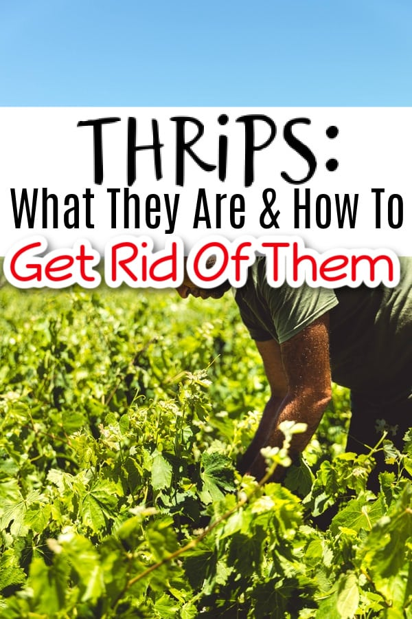 Thrips_ What Are They & How To Get Rid Of Them