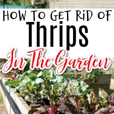 Thrips:  What Are They & How To Get Rid Of Them