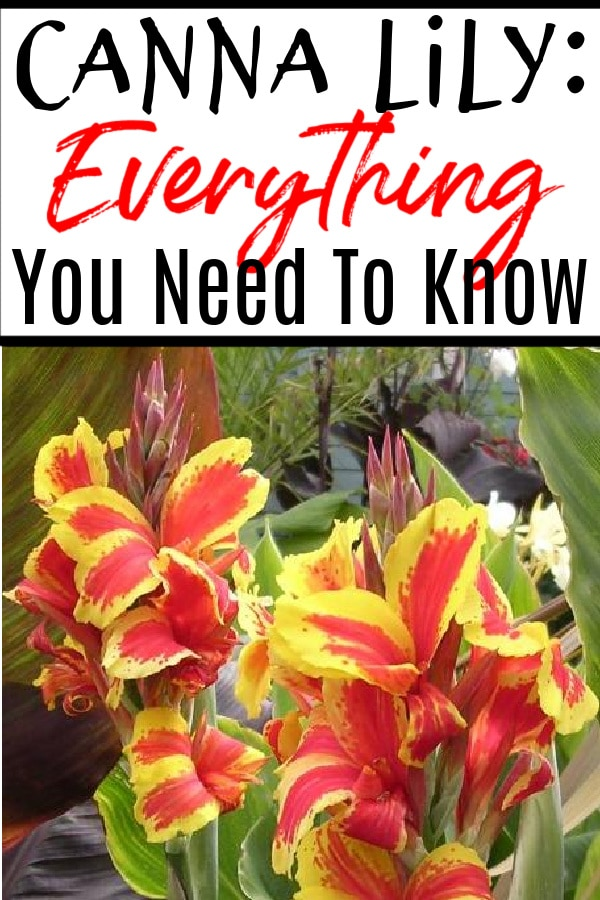 Canna Lily_ Everything You Need to Know