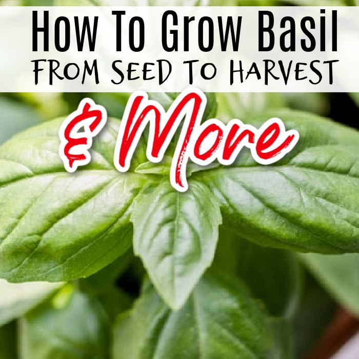 Basil growing & plant care is pretty easy but super rewarding.  Click through now to see the many uses for this versatile herb, including recipes...