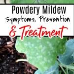Powdery Mildew Symptoms Prevention And Treatment
