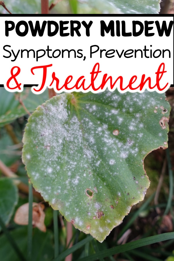 Powdery Mildew Symptoms Prevention And Treatment