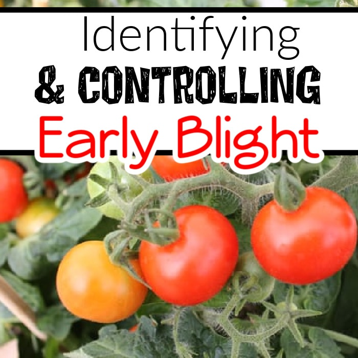 No one wants to see Early Blight in their garden. But it can be managed.  Click through NOW to see how to identify and control Early Blight in your garden...