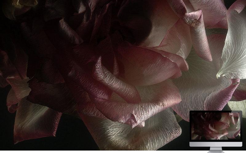 #24. Rose Petals Shadow Light