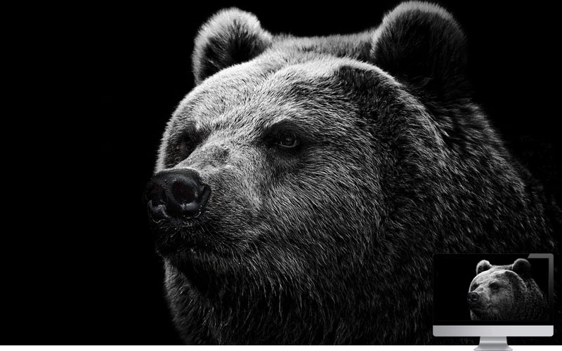 #3. Bear Grizzly Bear Eyes Nose Wallpaper
