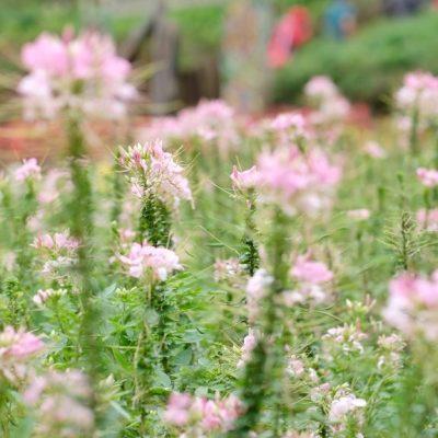 Wisata Keluarga di Taman Bunga Kutabawa