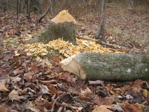What kind of monster beavers can fell a tree this thick?