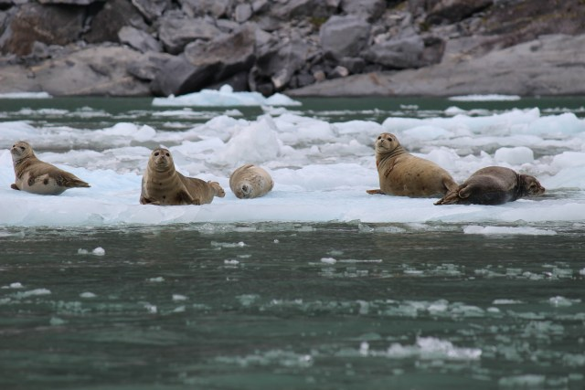 The seals of LeConte Bay. More than 2,000 make the bay (which is more of fjord) their home.