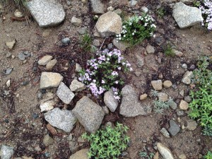 Many wildflowers bloomed on the trail, including the phlox familiar to most New England gardeners/