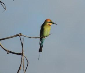 Rainbow Bee-eater2