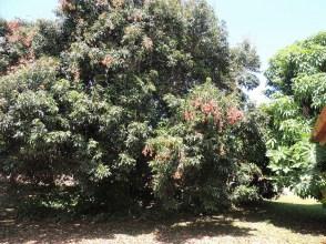 lichee-tree