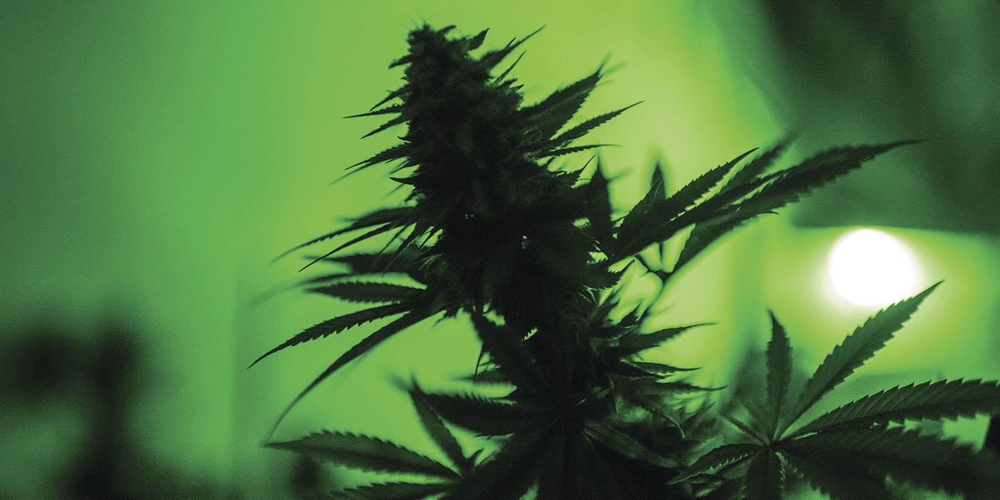 legalização da cannabis em portugal