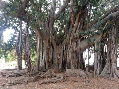 ficus magnoliensis