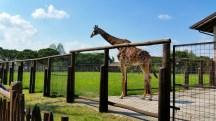 Giraffa quanto sei alta