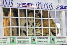 Tigres de Bengala rescatados en Guatemala llegan a EE.UU. 9