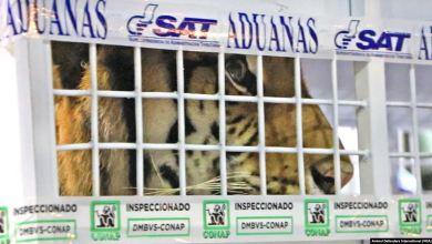 Photo of Tigres de Bengala rescatados en Guatemala llegan a EE.UU.