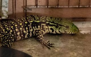 Escucharon ruido dentro de una encomienda y descubrieron un lagarto que compró un chino por internet