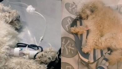 Photo of Buscan ayuda para Tyler, un perrito que necesita donantes de sangre: «Está débil y necesita seguir sus tratamientos»