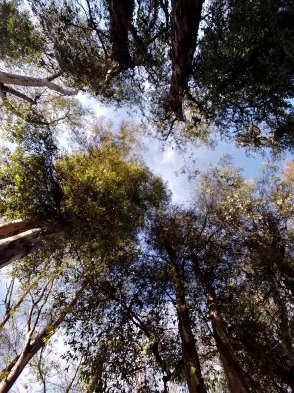 Tiempo de Eucaliptos:  Eucalytus