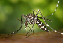 mosquito tigre Diario de Alicante