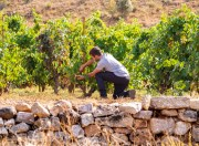 Objective, to avoid the loss of acidity in wines due to climate change