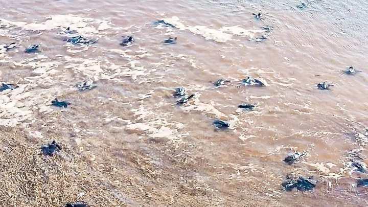 Protección Ciudadana y Bomberos de Nayarit liberan tortugas en San Blas
