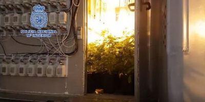ocultas, desmanteladas, plantaciones, cannabis, semirremolques, camión,