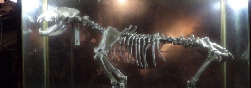 Ursus Spelaeus nella Grotta di Bossea