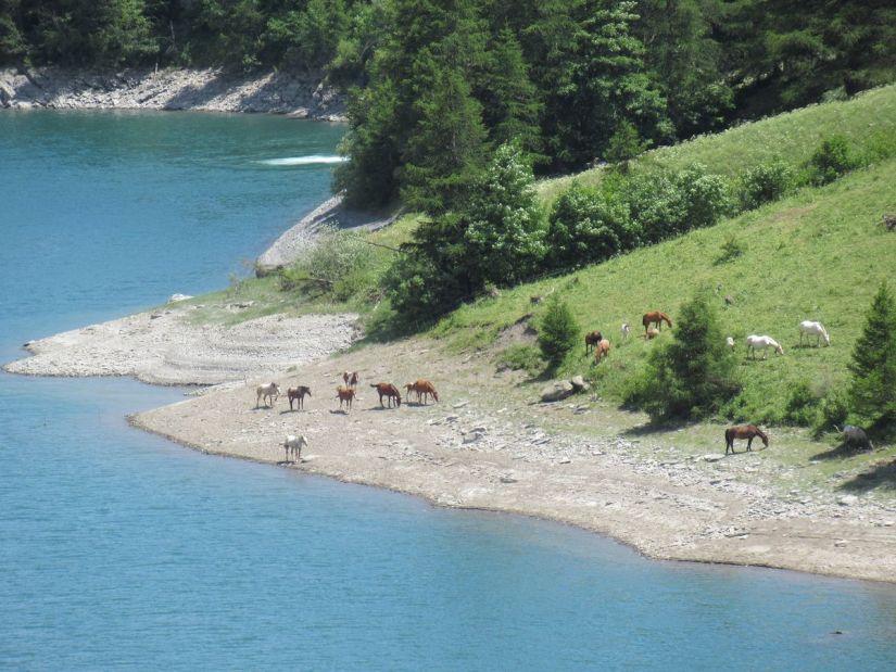 cavalli al pascolo lungo il lago