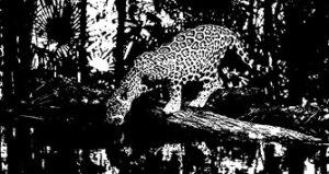 tigre antagonismo