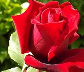 Arranqué una rosa