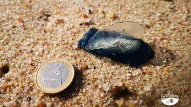 Photo of GelAvista alerta para as ocorrências de medusa velella na costa portuguesa