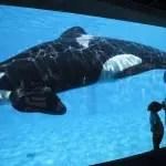 Parque aquático SeaWorld diz que não vai mais criar orcas em cativeiro