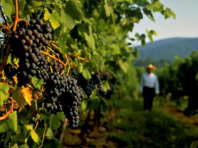 produção de vinhos