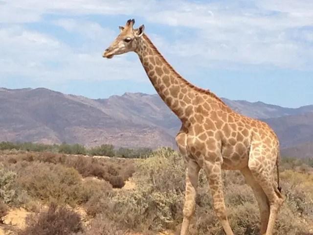 Fazer um safari no Inverdoorn Game Reserve foi incrível para quem mora numa cidade de Pedra como São Paulo