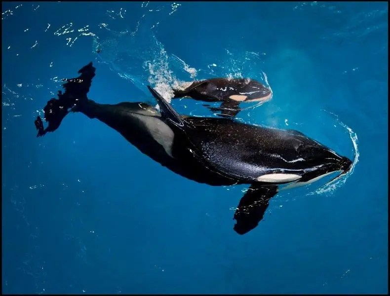 Seaworld anuncia nascimento do último filhote de orca no parque
