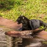 Itaipu anunciará nomes finalistas para oncinha do Refúgio Biológico Bela Vista