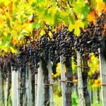 Serra Catarinense: vinhos incríveis e belíssimas paisagens