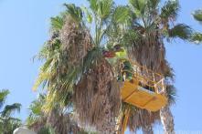 trabajo-limpieza-palmeras-con-maquinaria-especial-altura-16
