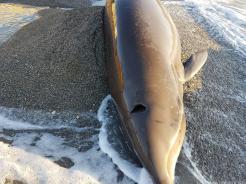 detallles-del-delfin-vivo-varado-esta-manana-en-almunecar-16-3