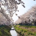 富士見桜めぐり(春・11)