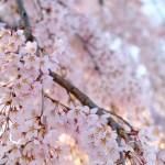 ふじみ野桜さんぽ(春・5)