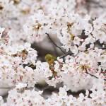 ふじみ野さくらパトロール(写真散歩・春7)