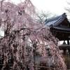 ふじみ野写真さんぽ・地蔵院の枝垂れ桜(写真散歩・春6)