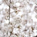 ふじみ野写真散歩・春6(満開の桜)