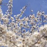 ふじみ野写真散歩・春7(快晴の桜)