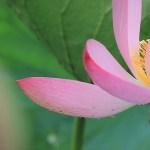 伊佐沼の蓮の花と鳥たち、そして川越氷川神社の風鈴回廊。