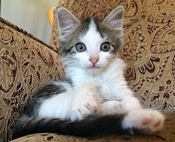 Indy - foster kitten