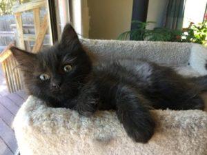 Muffin - foster kitten